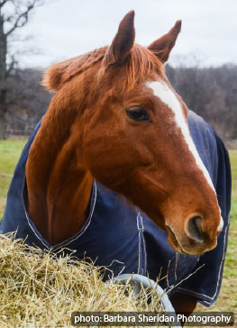 (image) Thoroughbred horse