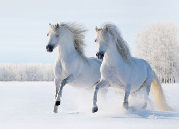 two white horses run in the snow