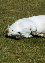 resting horse