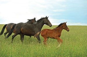 three horses running free